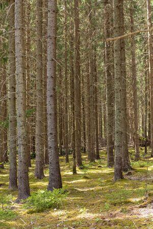Vintage conifer forest with bare tree trunks in Sweden Standard-Bild
