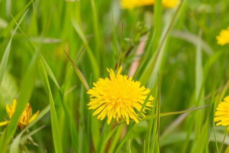 One yellow dandelion flower in green grass.