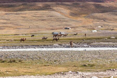 Altai, Mongolia - June 14, 2019: Camel team in steppe with mountains in the background. Altai, Mongolia. A camel drinks water from a mountain river.