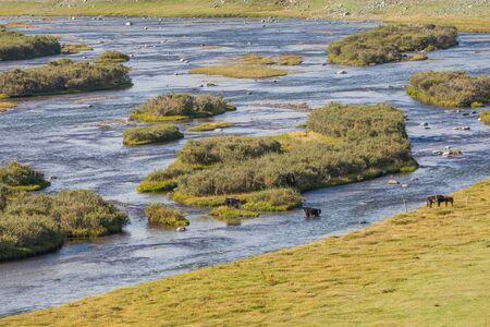 Cows cross the river. Mountain Altai, Mongolia