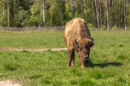 A bison peacefully nips grass on the lawn.