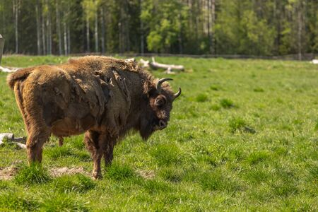 Buffalo during molting in Sweden national park.