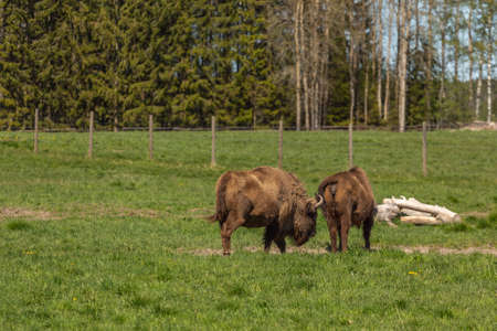 Herd of Bison on a green meadow in Sweden national park. Selective focus