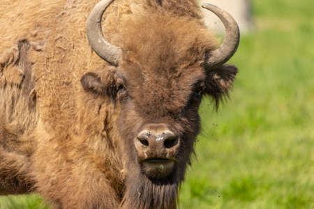 Portrait of a buffalo walking in a green meadow in Sweden national parks.