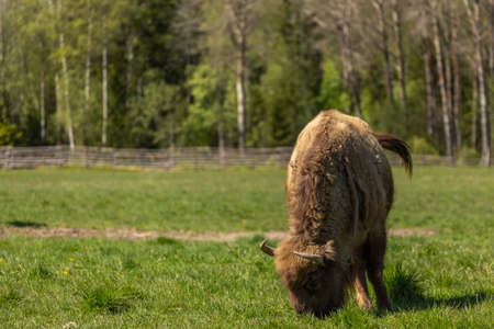 Bison on a green meadow in Sweden national park.