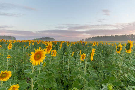 Sunflower field landscape close-up. selective focus