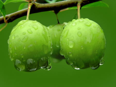 Green plums on a branch with raindrops 版權商用圖片 - 47209901