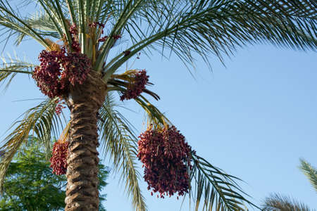 palm fruits: Date palm tree with fruits against the blue sky Stock Photo