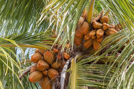 coco: Rey de coco que crece en la palma de la mano. Se utiliza para beber residentes de Sri Lanka