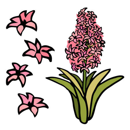 Pink hyacinth flower on white isolated backdrop
