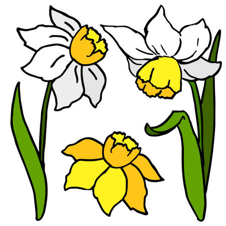 Sping jonquil flowers on white isolated backdrop