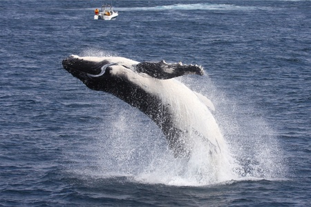 whale: A hunpback whale calf breaches off Port Stephens while people in a boat look on.