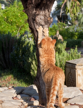 Red cat sharpening his claws on a tree, view from the back Stock Photo