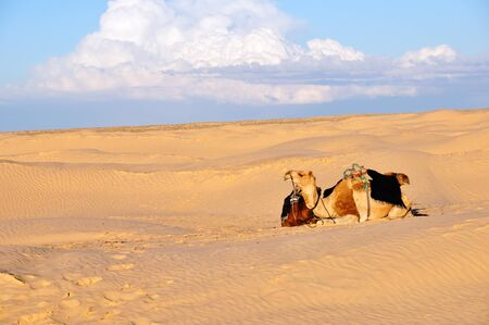 Camel lying on the sand in the Sahara desert against the white beautiful clouds photo