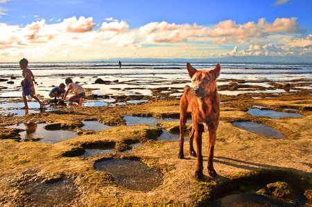 balinese: typical balinese dog Stock Photo