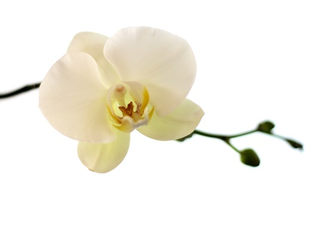 White orchid isolated on white  Stock Photo - 18320627