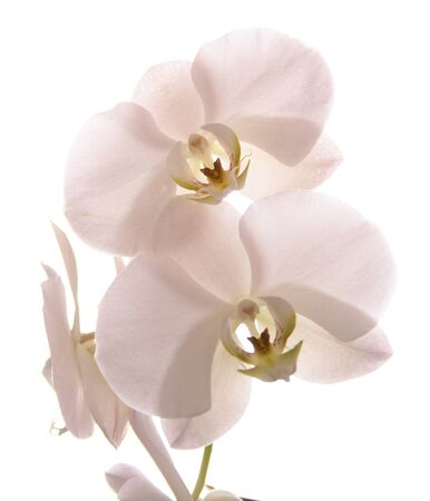White orchid isolated on white  Illustration