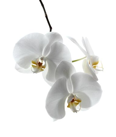 White orchid isolated on white Stock Photo - 18419527