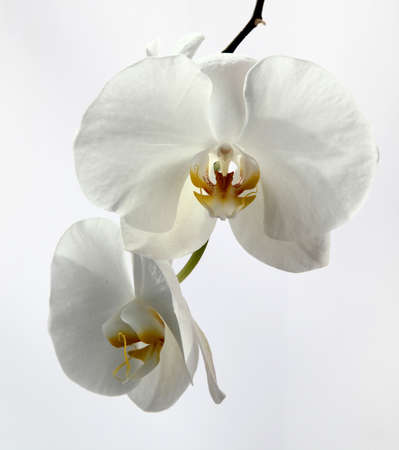 White orchid Stock Photo - 18419529