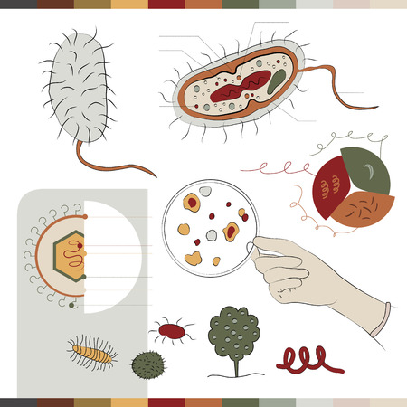 bacilli: This illustration is about the appearance of the bacteria. Here you can see how does the bacteria looks inside its structure and components. Moreover you can also see a clear image of it.