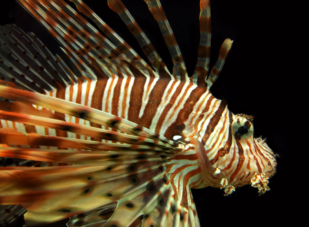 Red Lionfish Aquatic Animal