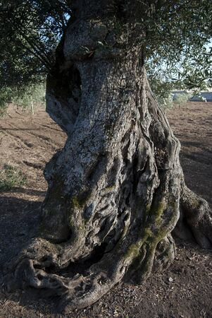 ancient olive tree. photo