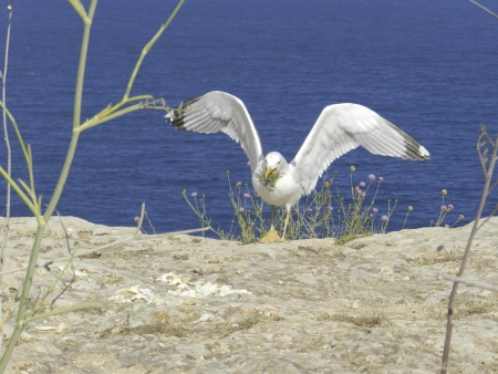 Seagull in the island of Formentera photo
