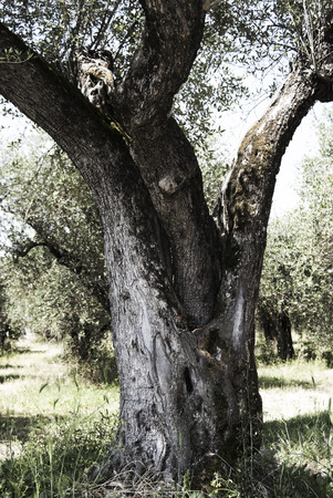 secular: A secular olive tree in an olive grove
