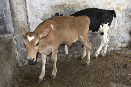 veal: two youngs dairy veal in a cattle Stock Photo