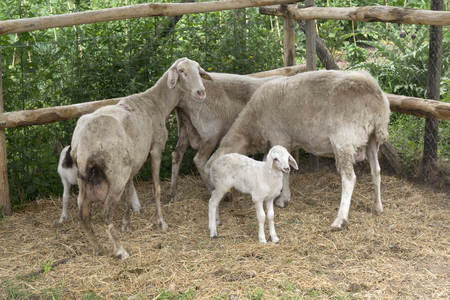 ewes: milk lamb with ewes in a cuttle