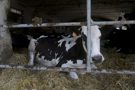 Holstein friesian dairy cow in a shed full of hay