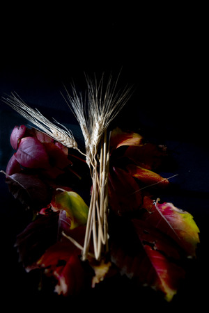 still life of corn ears and leaves in a play of contrasts