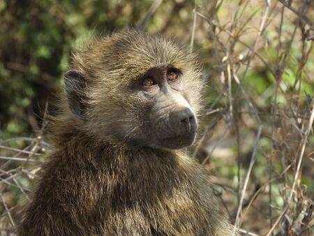 A look at the sky: baboon cub