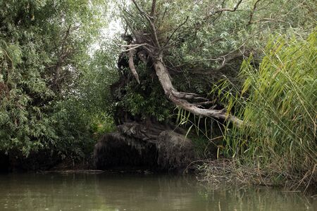 overhang: hollow old tree in the Delta of the river don