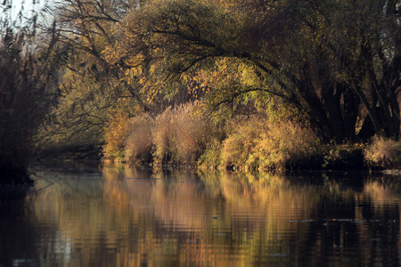 bent over: yellow leaves on the willow branch bent over water