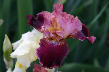 excretion: Burgundy iris flower with orange beard Stock Photo