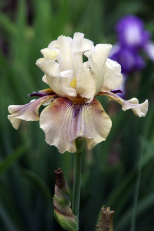 excretion: flower cream light green streaked with purple iris with beard