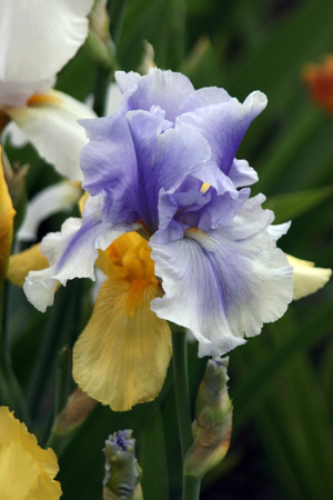 excretion: the blue-veined flower white iris with a yellow beard