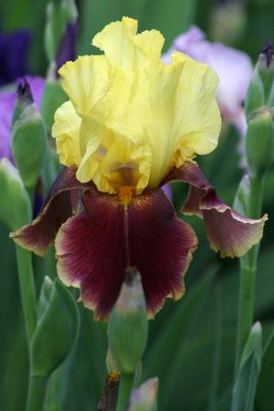 veined: flower and Bud of yellow Burgundy veined iris with orange beard