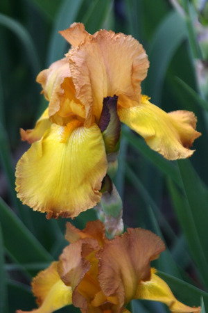 excretion: the flowers are yellow brown iris