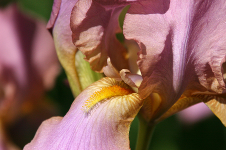 excretion: the flower is light purple with streaks of iris with orange beard