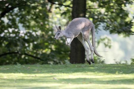 amphibia: grey kangaroo jump