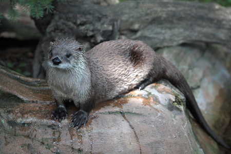 amphibia: otter on rock Stock Photo