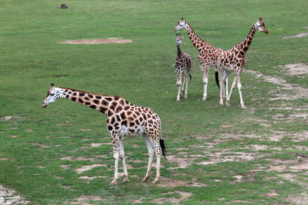 amphibia: group of giraffes in the aviary Stock Photo