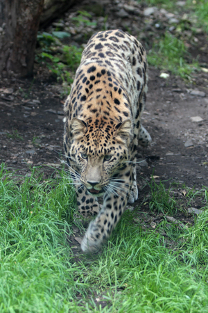 far eastern: the far Eastern leopard in the cage Stock Photo