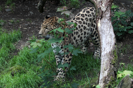 amphibia: the far Eastern leopard in the cage Stock Photo