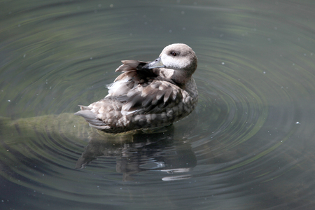 amphibia: stacking duck feathers on the wing Stock Photo