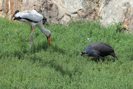 amphibia: crane and Guinea fowl grazing in the meadow Stock Photo