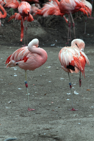 amphibia: flamingos in the aviary