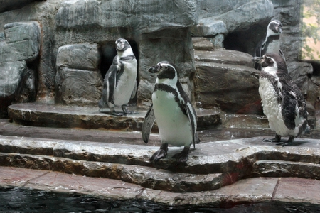amphibia: penguins in the aviary Stock Photo